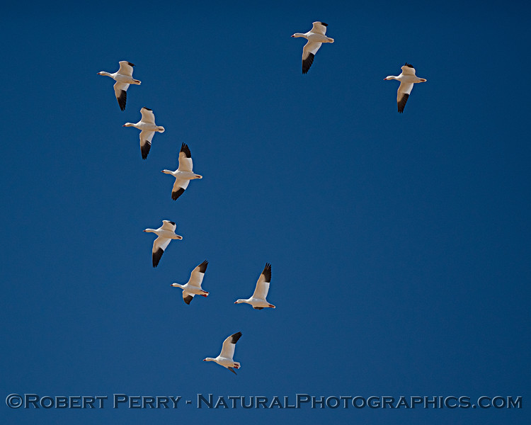 Chen caerulescens in flight looking up sky 2019 10-30 Sac NWR--038