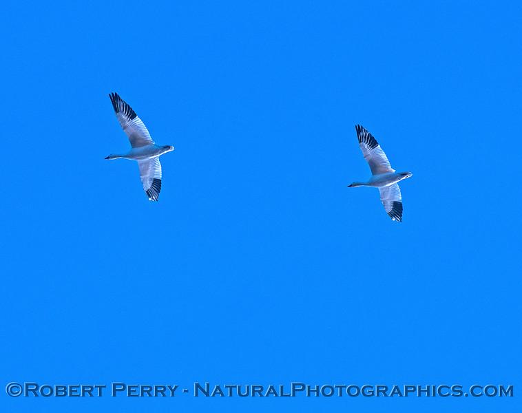 Chen caerulescens snow geese 2016 12-06 Sacramento NWR-070
