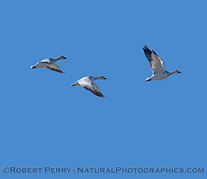 Chen caerulescens Snow geese 3 in flight 2019 10-30 Sac NWR-c-074