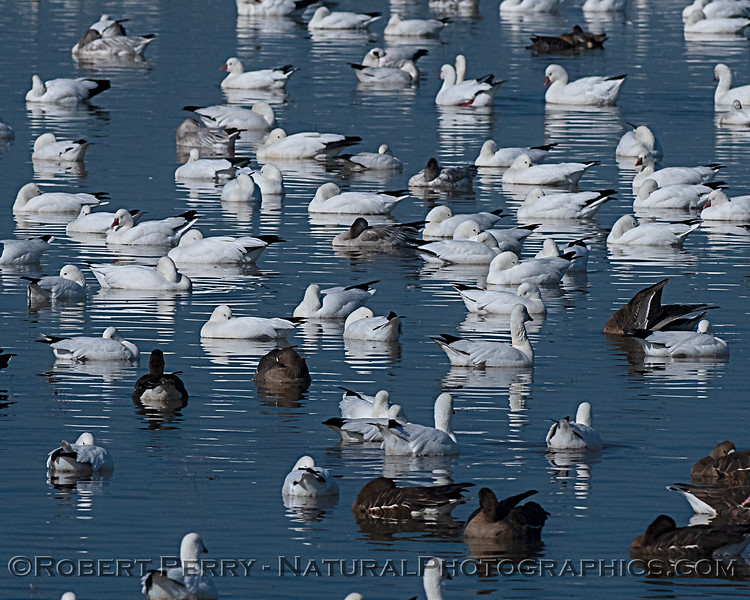 Chen caerulescens Snow geese sleeping 2019 11-06 Llano Seco--009