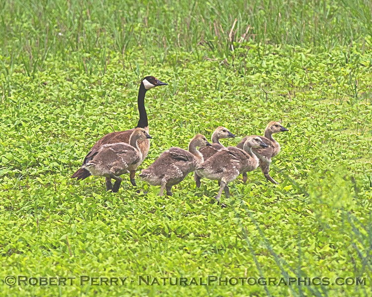 Branta canadensis with goslings in grass 2020 05-02 Sac NWR--021