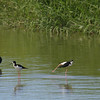 Hawaiin-Coot-Black-necked-Stilt-Oahu_Hawaii-8315