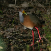 Grey-necked Wood-Rail- Sian Kaan_MX 119