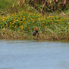 Common-Moorhen-Oahu_Hawaii-8358