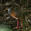 Grey-necked Wood-Rail- Sian Kaan_MX 113