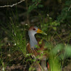 Grey-necked Wood-Rail- Sian Kaan_MX 115