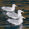 HERRING GULLS with THAYER'S GULL in background