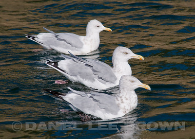 GULLS, TERNS and PELAGIC BIRDS