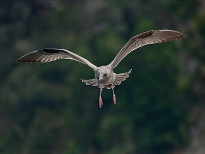 WESTERN GULL, first cycle