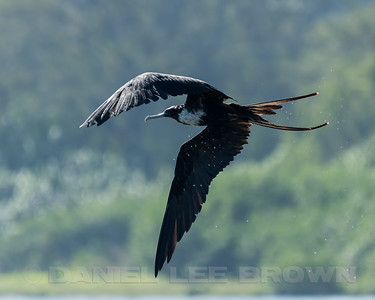 MAGNIFICENT FRIGATEBIRD, female