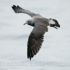 HEERMAN'S GULL, adult, winter plumage