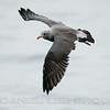 HEERMAN'S GULL, adult, winter plumage