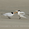 ELEGANT TERN adult feeding young