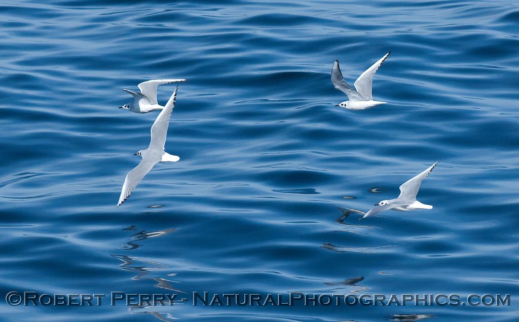Bonaparte's Gulls (Larus philadelphia).