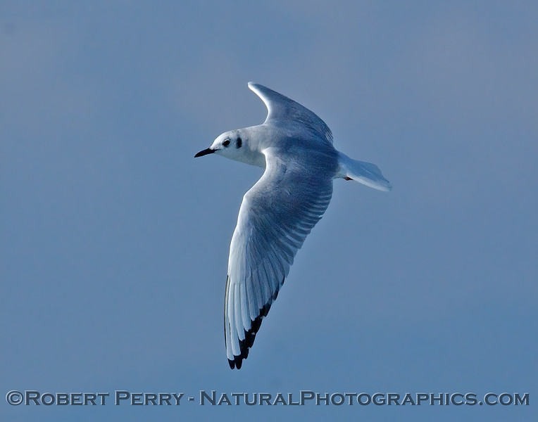 Larus philadelphia Bonapartes gull 2005-02-26 SM Bay--020