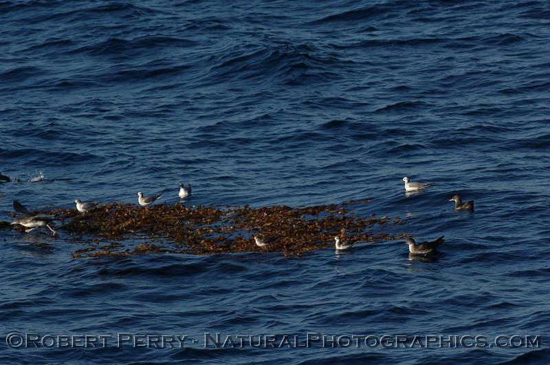 Sabine's gulls (Xema sabini)