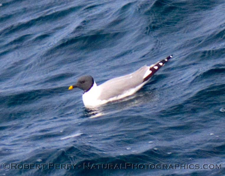 Sabine's Gull (Xema sabini).
