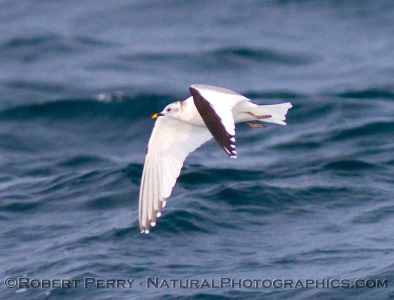 Juv. Sabine's Gull (Xema sabini).