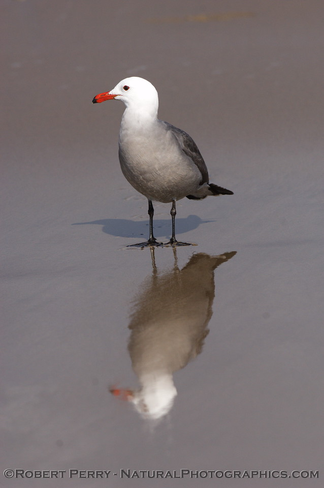 Adult, on wet mirror sand.