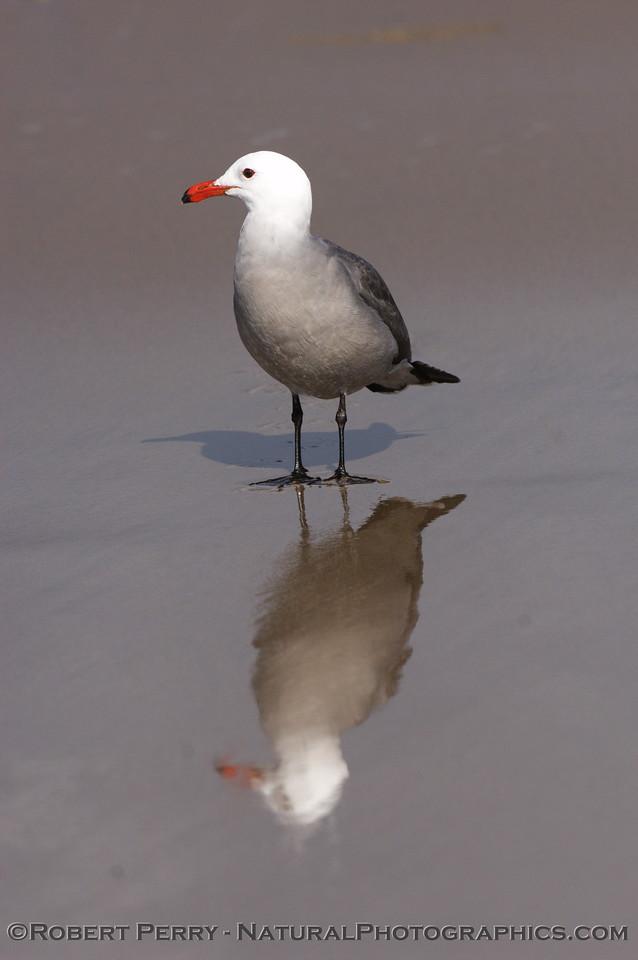 Adult, on wet mirror sand.