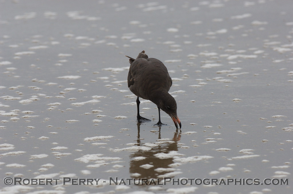 Juvenile grabs sand crabs in the swash zone.