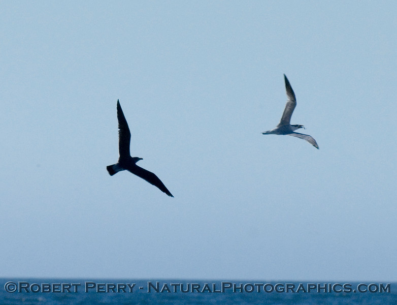 Heermann's gull chasing Elegant tern with fish in mouth.