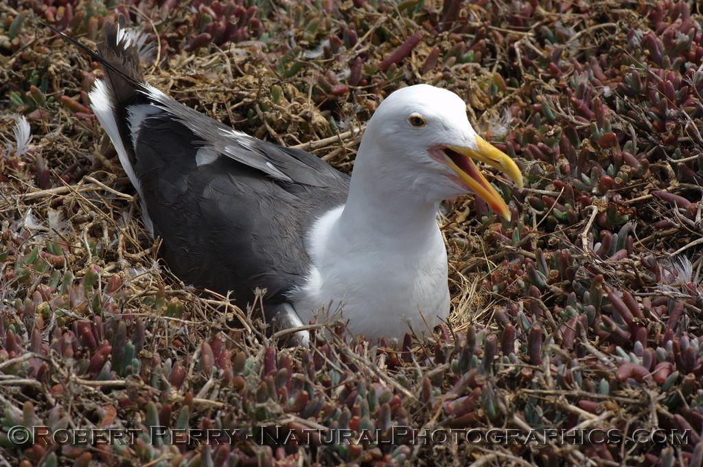 Adult western gull on nest - East Anacapa Island.