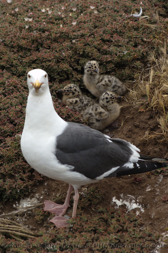 Adult stands guard over three newborn western gulls - East Anacapa Island.