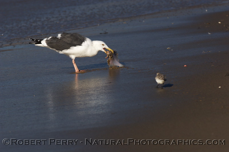 Adult western gull feeds on small flatfish - Zuma Beach, California.