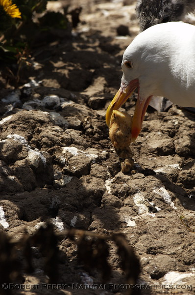 Adult western gull regurgitates food for young chick - East Anacapa Island.