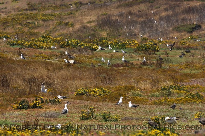 Western gull nesting site - East Anacapa Island.