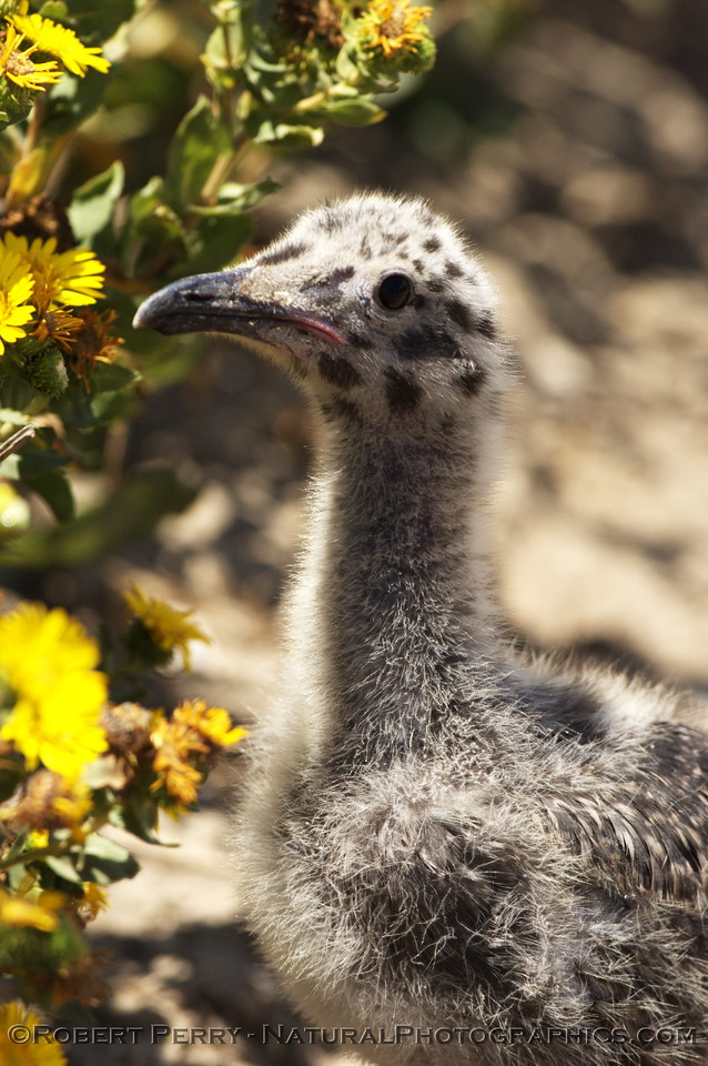 Very young western gull chick - East Anacapa Island.