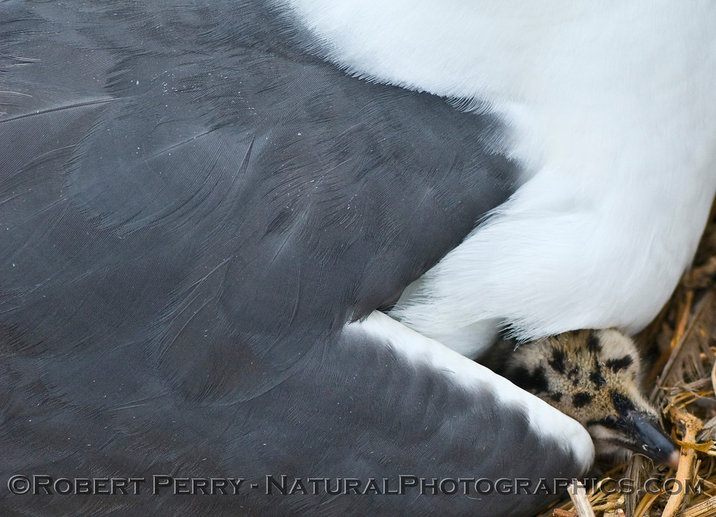 Juvenile newborn western gull tucked under adult peaks out - East Anacapa Island.