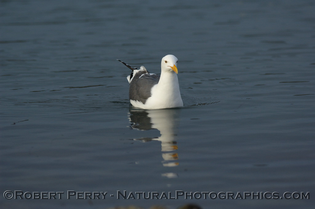 Adult western gull swimming/floating.