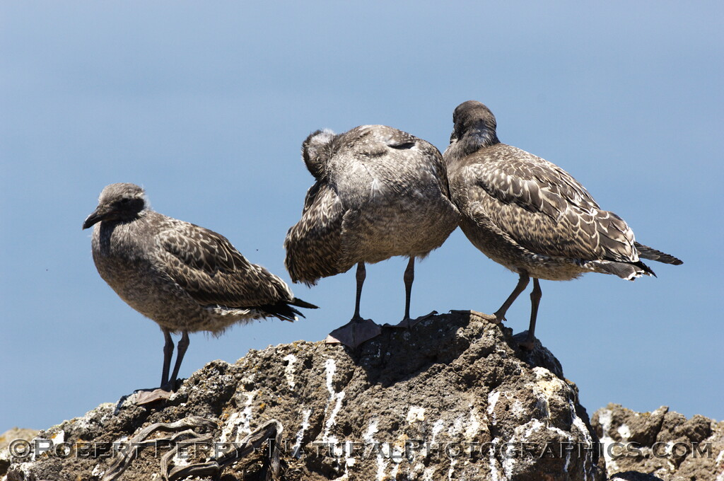 Approx 6-week old western gulls - East Anacapa Island.