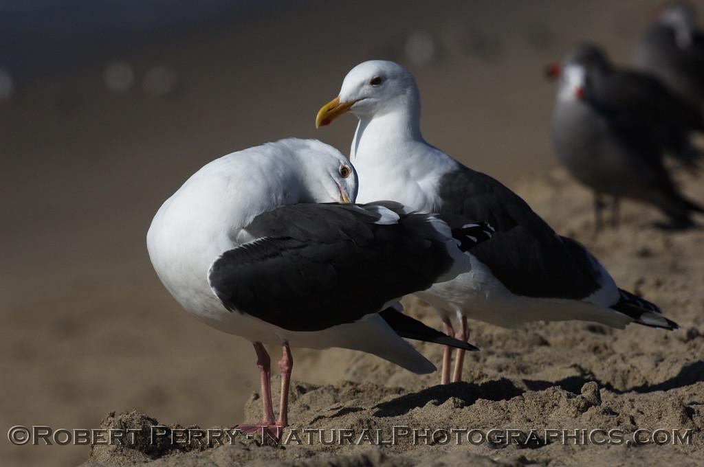 Adult western gull preening - Zuma Beach, California.
