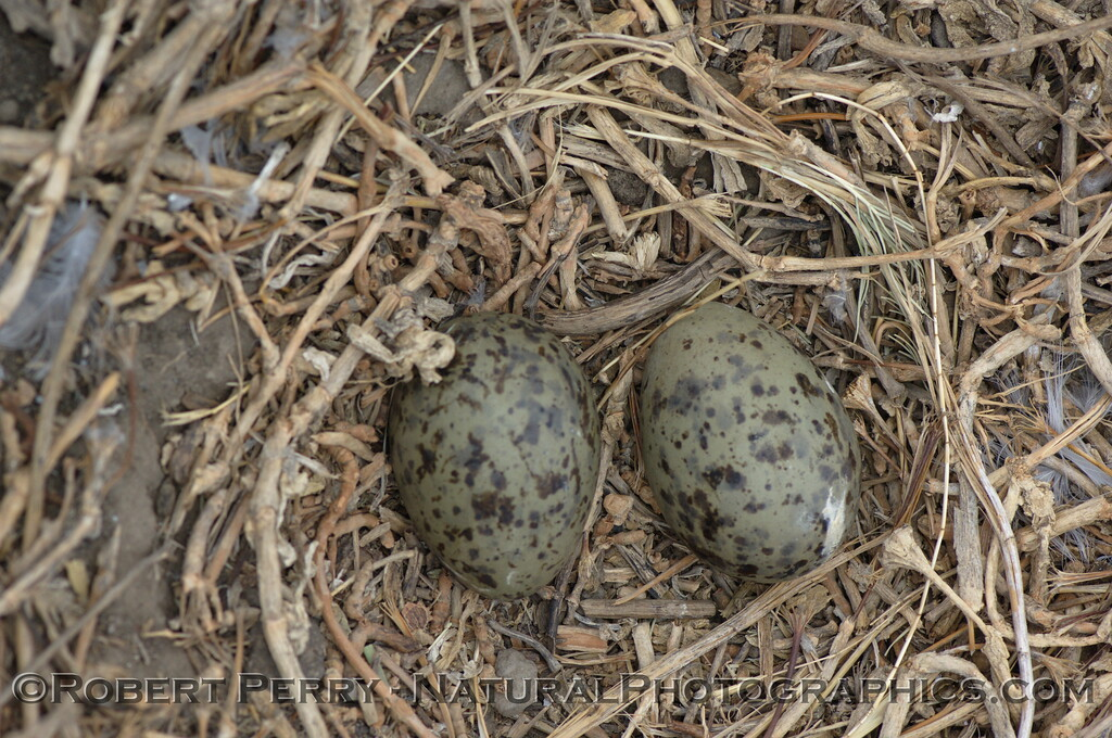 Two western gull eggs in nest - East Anacapa Island.