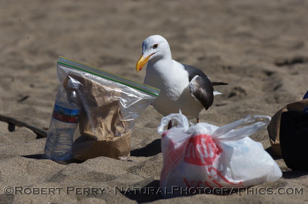 Adult western gull attacks lunch bag on beach - Zuma Beach, California.