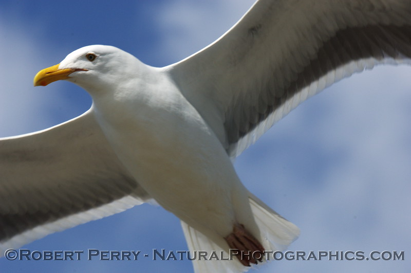 Adult western gull in flight - looking from below.