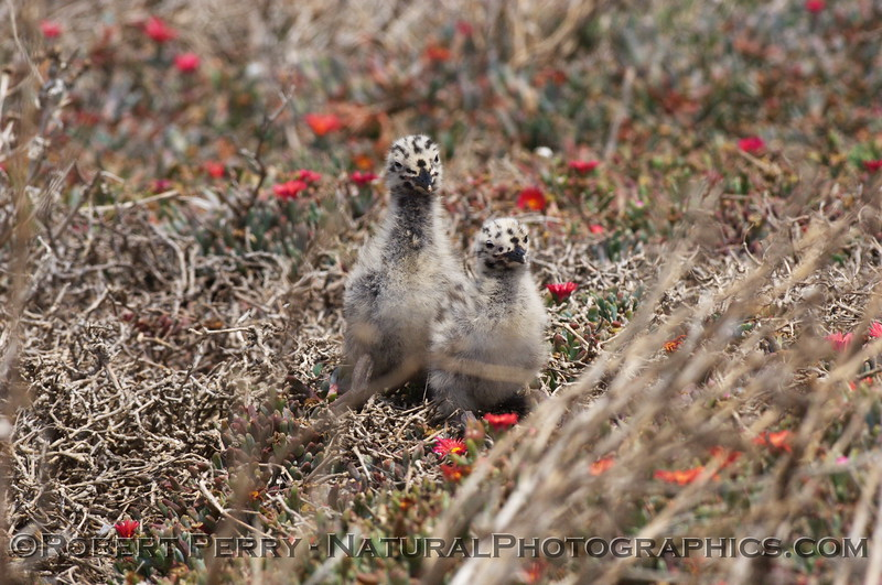 Two very young western gull chicks - East Anacapa Island.