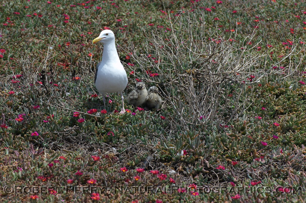 Three newborn western gulls with adult in flowers - East Anacapa Island.