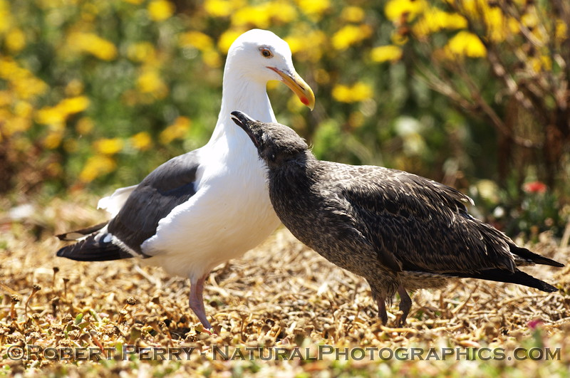 Approx 6-week old western gull soliciting food from adult - East Anacapa Island.