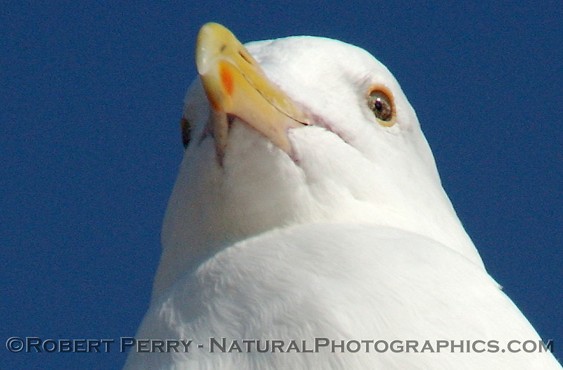 Adult western gull face.