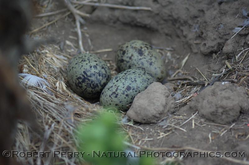 Three western gull eggs - East Anacapa Island.