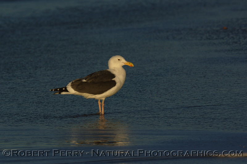 Western gull wading in shallow water at dawn - Zuma Beach, California.