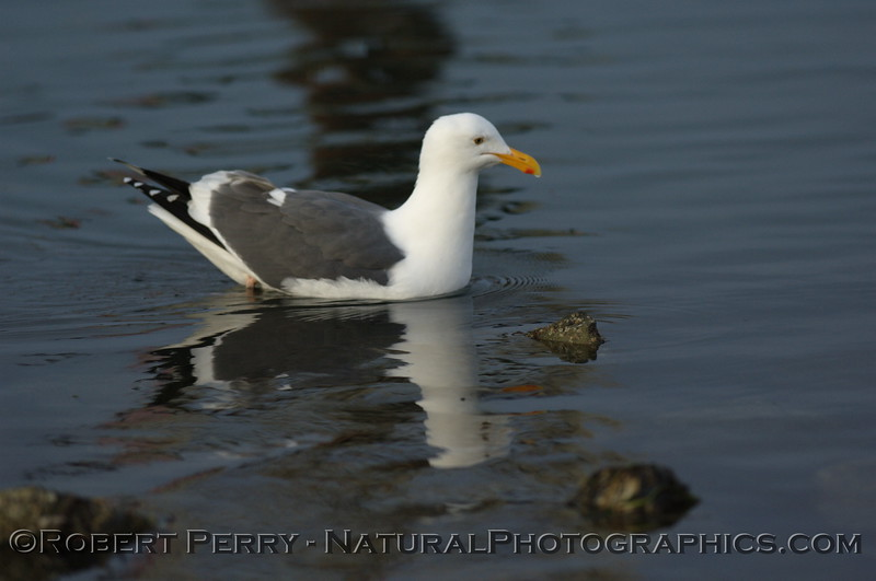 Adult western gull swimming in shallow waters - Bodega Bay, California.