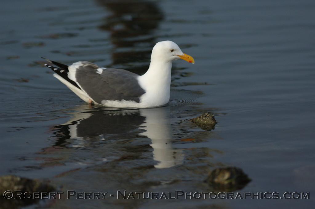 Adult western gull swimming in shallow waters - Bodega Bay, California.