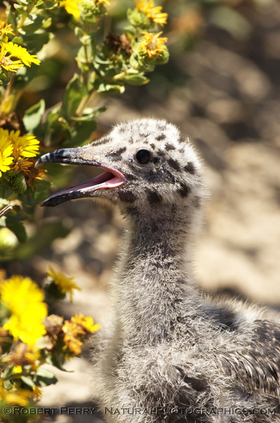 Very young western gull chick - East Anacapa Island