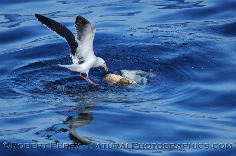 Adult western gull attempts to feed on fish entangled in derelict gill net - Santa Cruz Basin, California.
