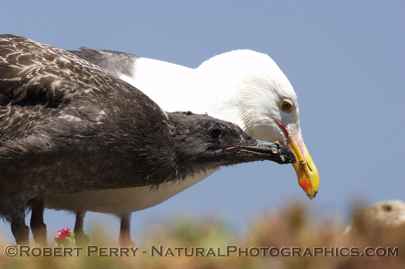 Adult feeding western gull chick - East Anacapa Island.